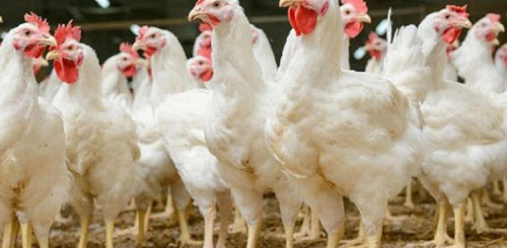 Ministerija siekia, kad paukščių gripas nepatektų į ūkius